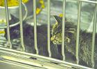 Two month-old domestic shorthair mix kittens observe visitors at the Humane Society of Young County.